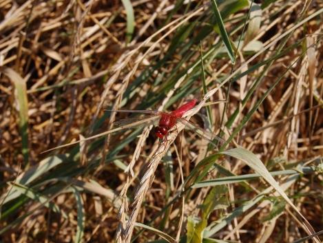DSC_7917 - Déli szitakoto (Crocothemys erythraea) a Kis-Szamoson Peterhazanal (Petresti)